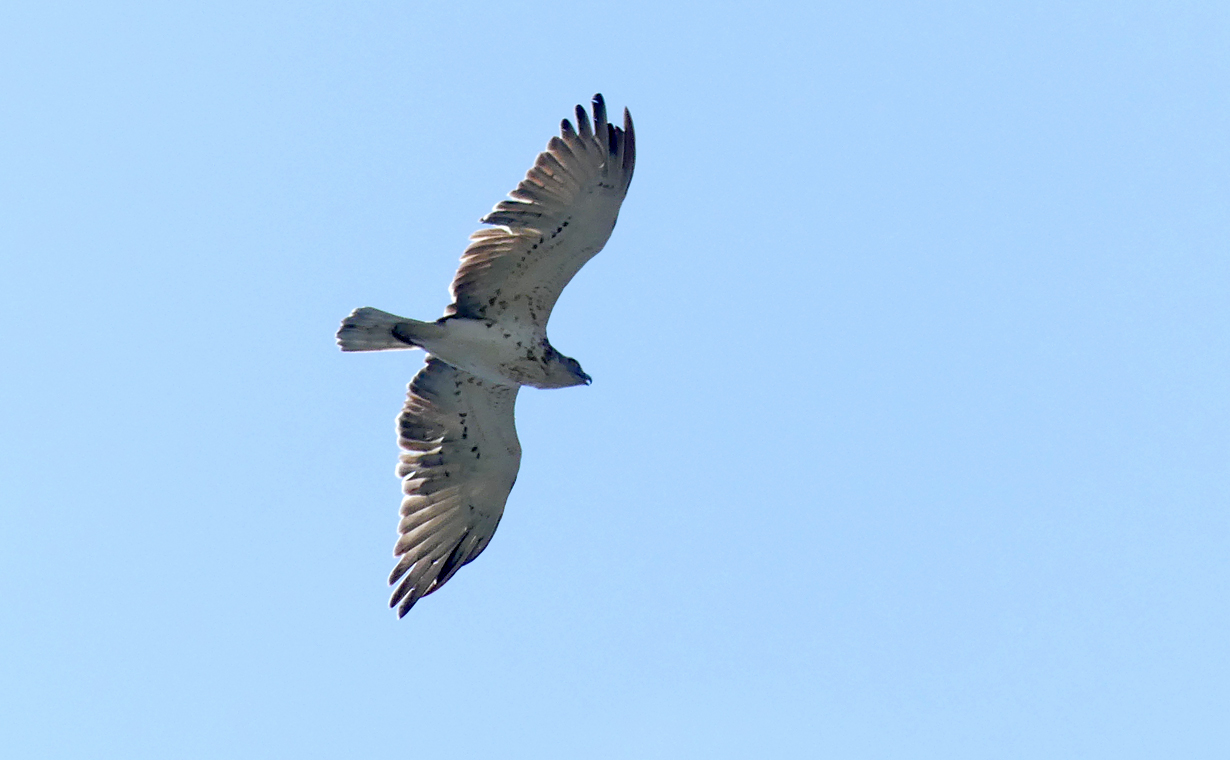 Short-toed Eagle - Punta Carnero
