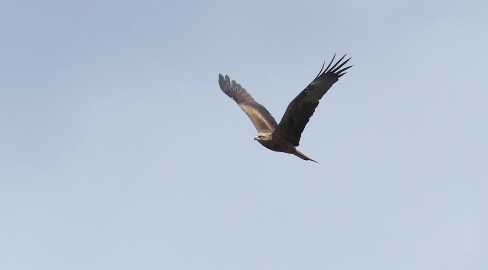Black Kite - Punta Carnero
