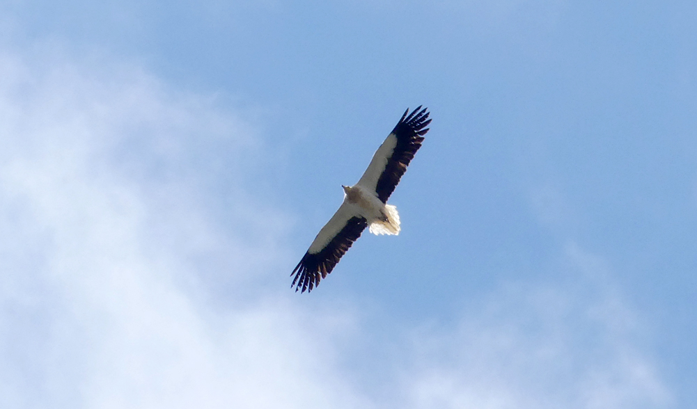 Egyptian Vulture - Punta Carnero
