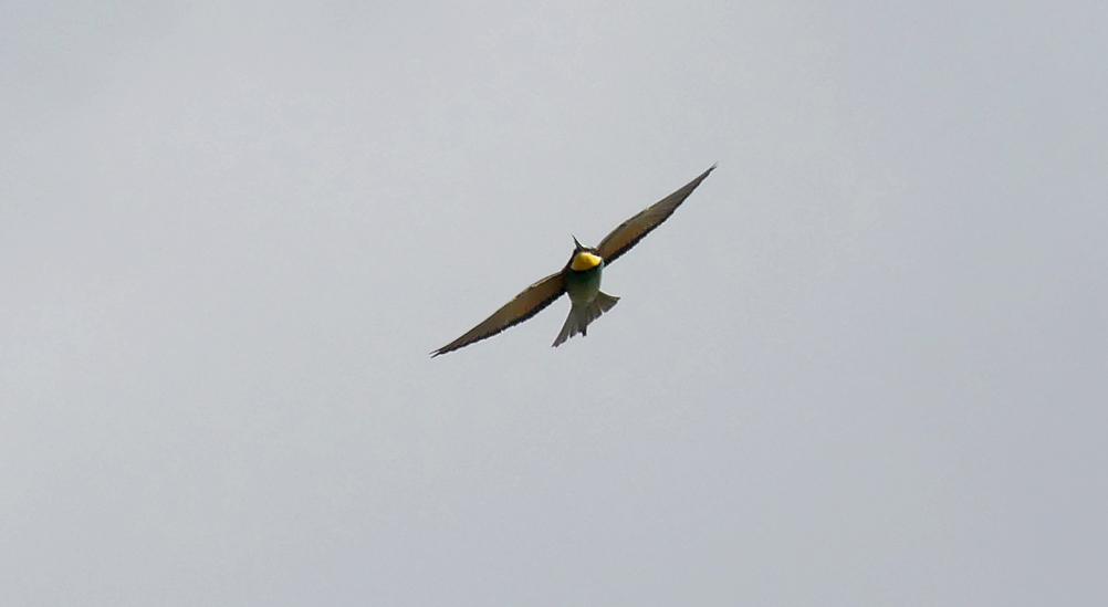 Bee-eater - La Janda