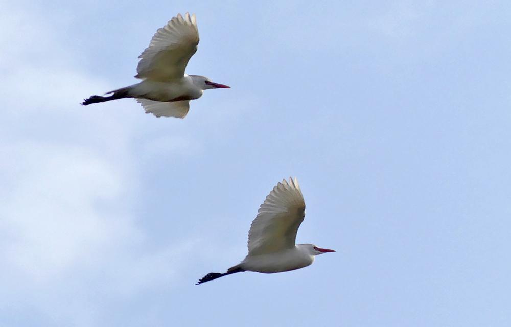 Cattle Egrets - La Janda