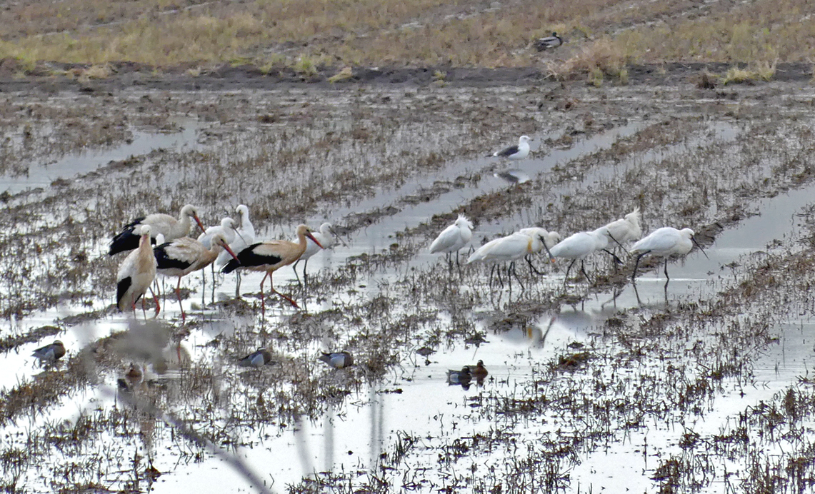Spoonbills, White Storks & Garganeys -  La Janda