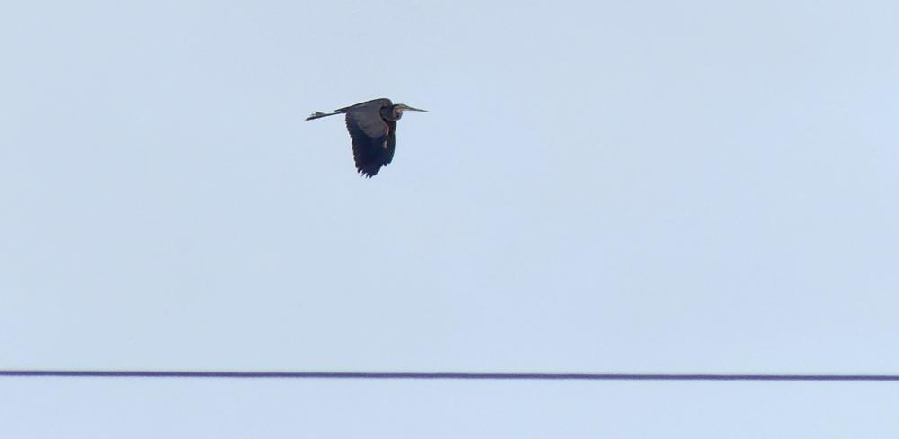 Purple Heron  - La Janda
