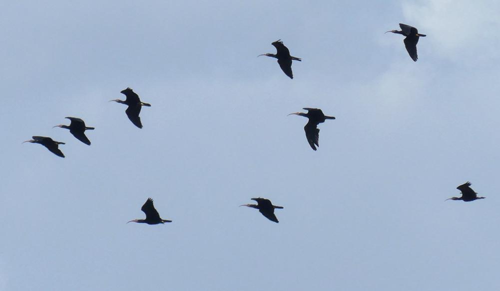Bald Ibises - near Benelup