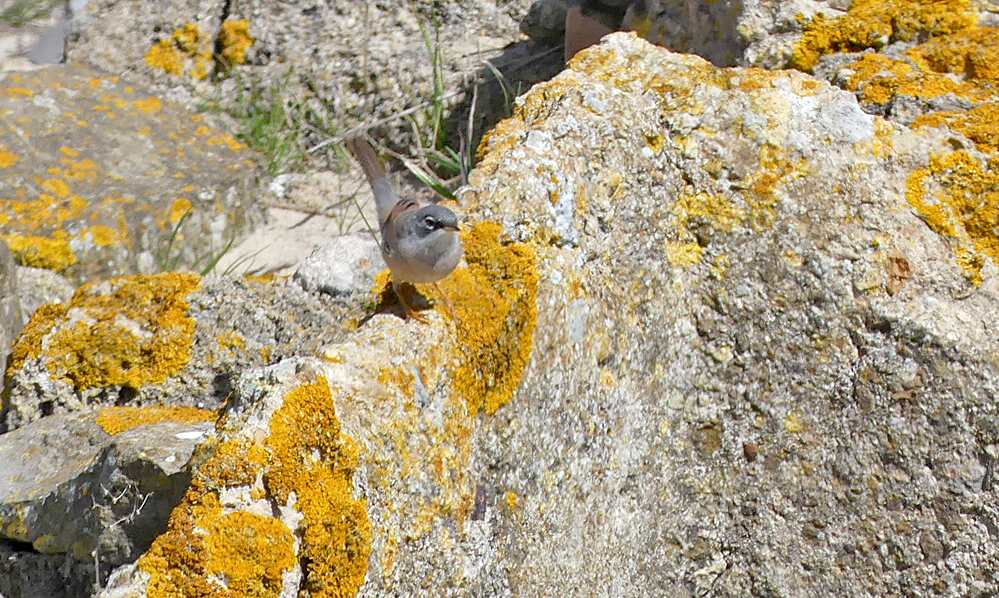 Spectacled Warbler - Bolonia beach