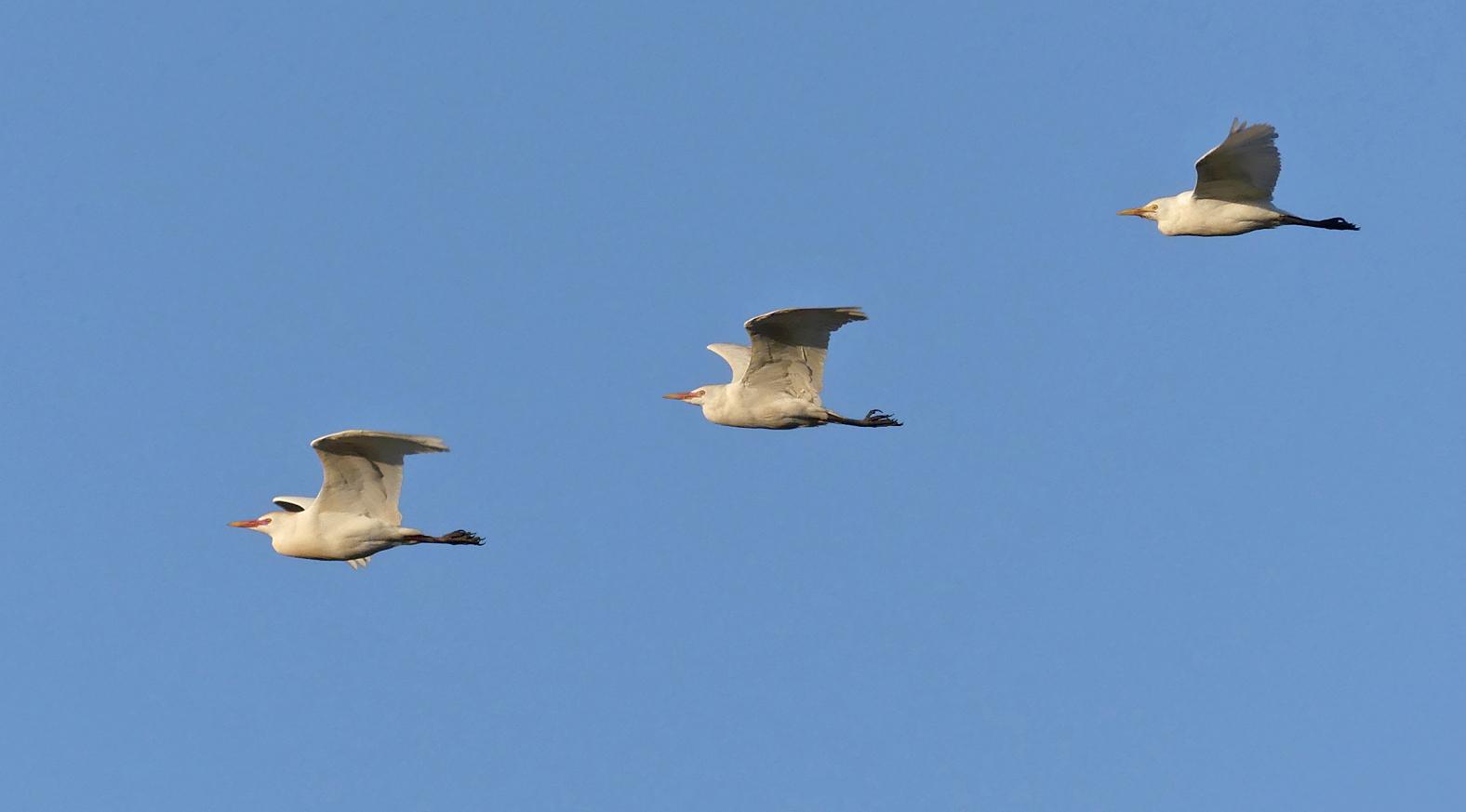 Little & Cattle Egrets - La Janda