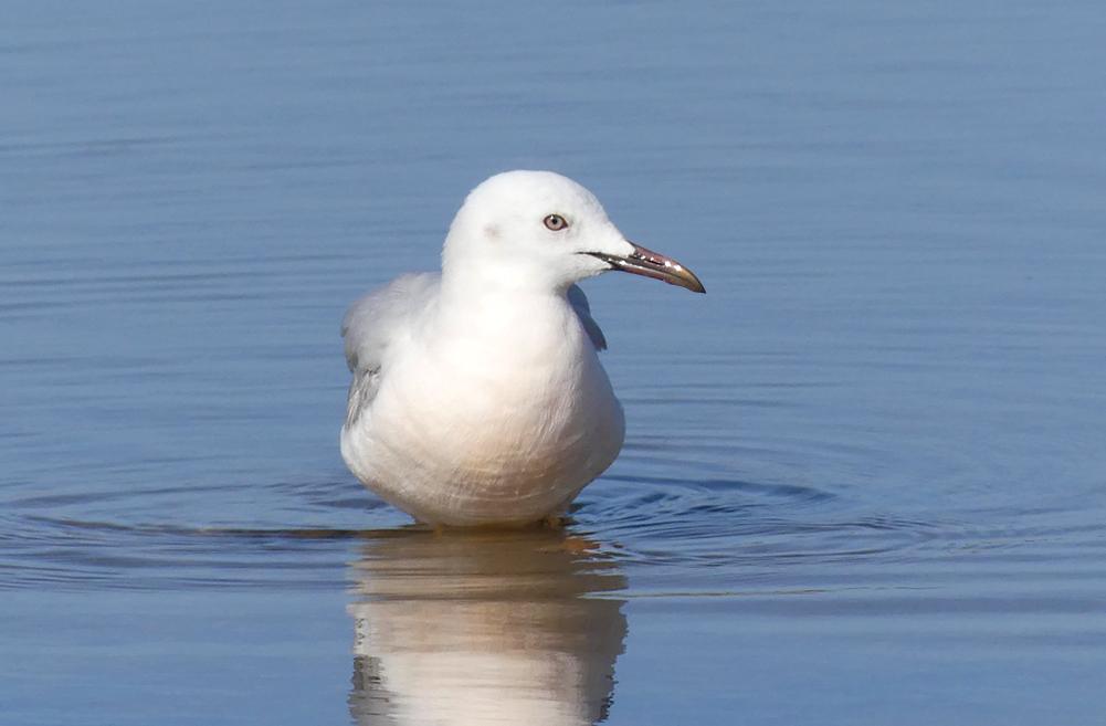 Slender-billed Gull - Bonanza Saltpans