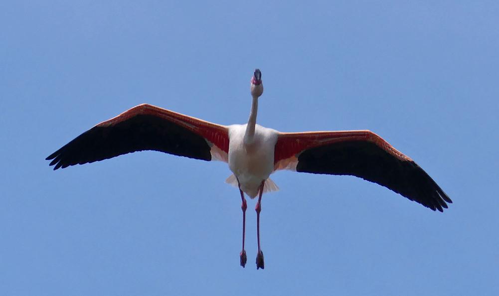 Greater Flamingo - Bonanza Saltpans