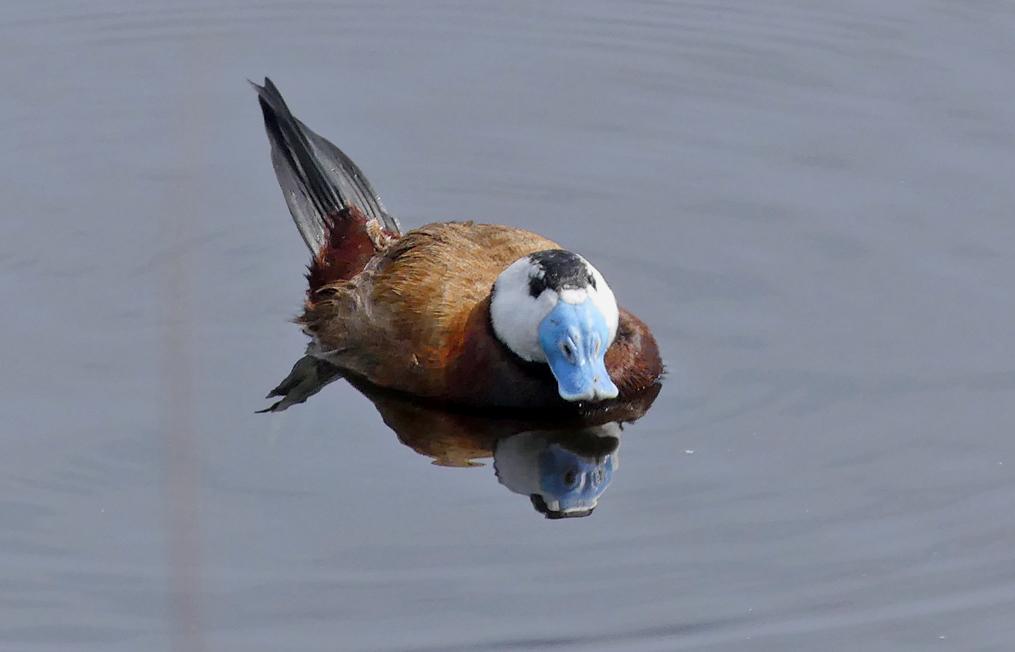 White-headed Duck - Camino Colorado Lagoons
