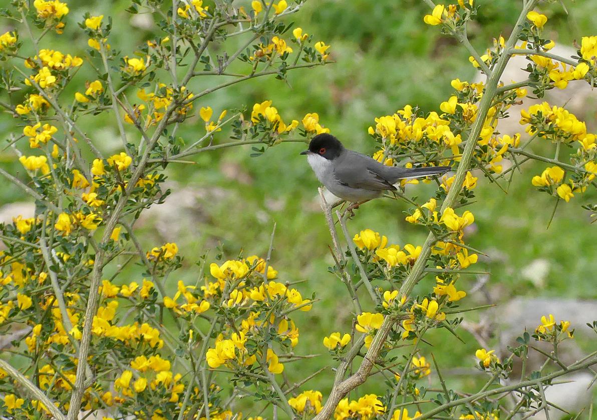 Sardinian Warbler, Casares