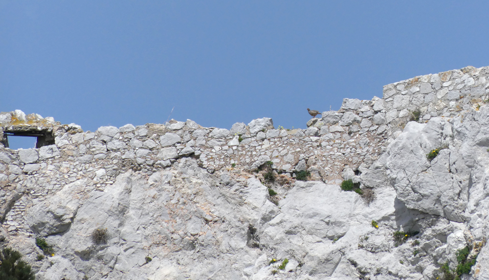 Barbary Partridge, Gibraltar
