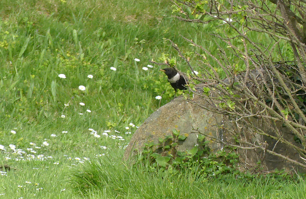 Ring Ouzel - Peninsula, 13 Apr 18
