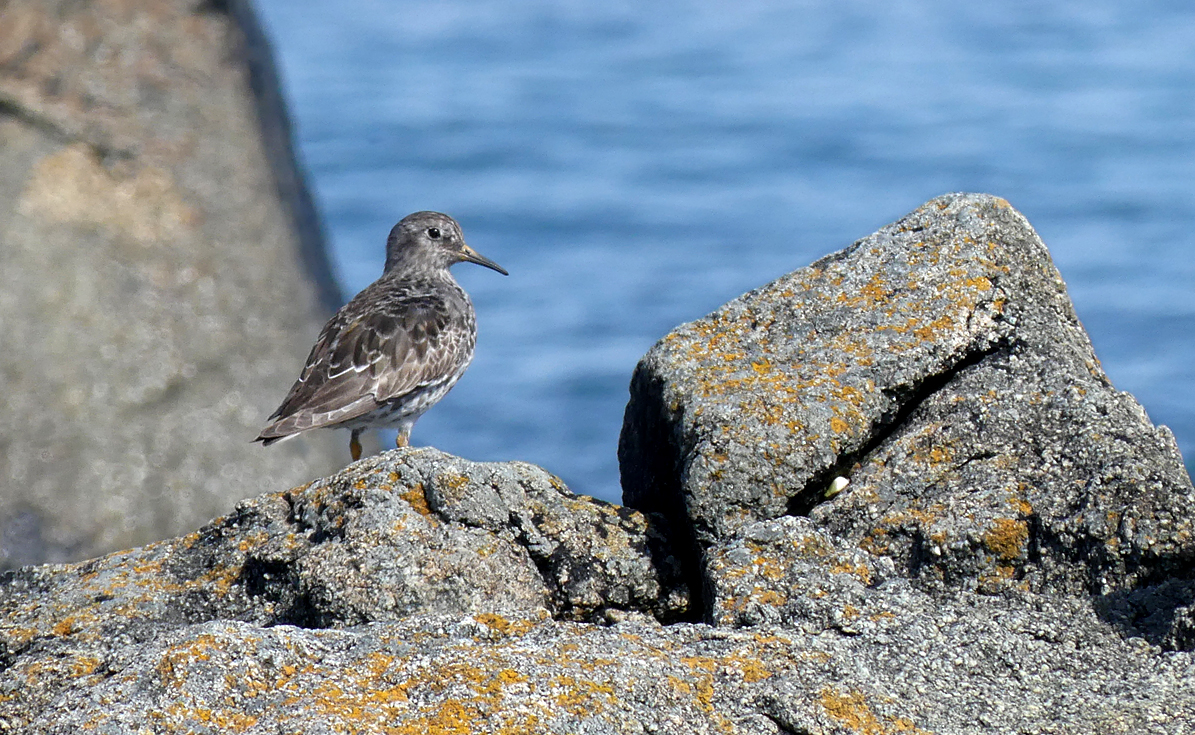 Purple Sandpiper - Rousse, 21 Apr 18