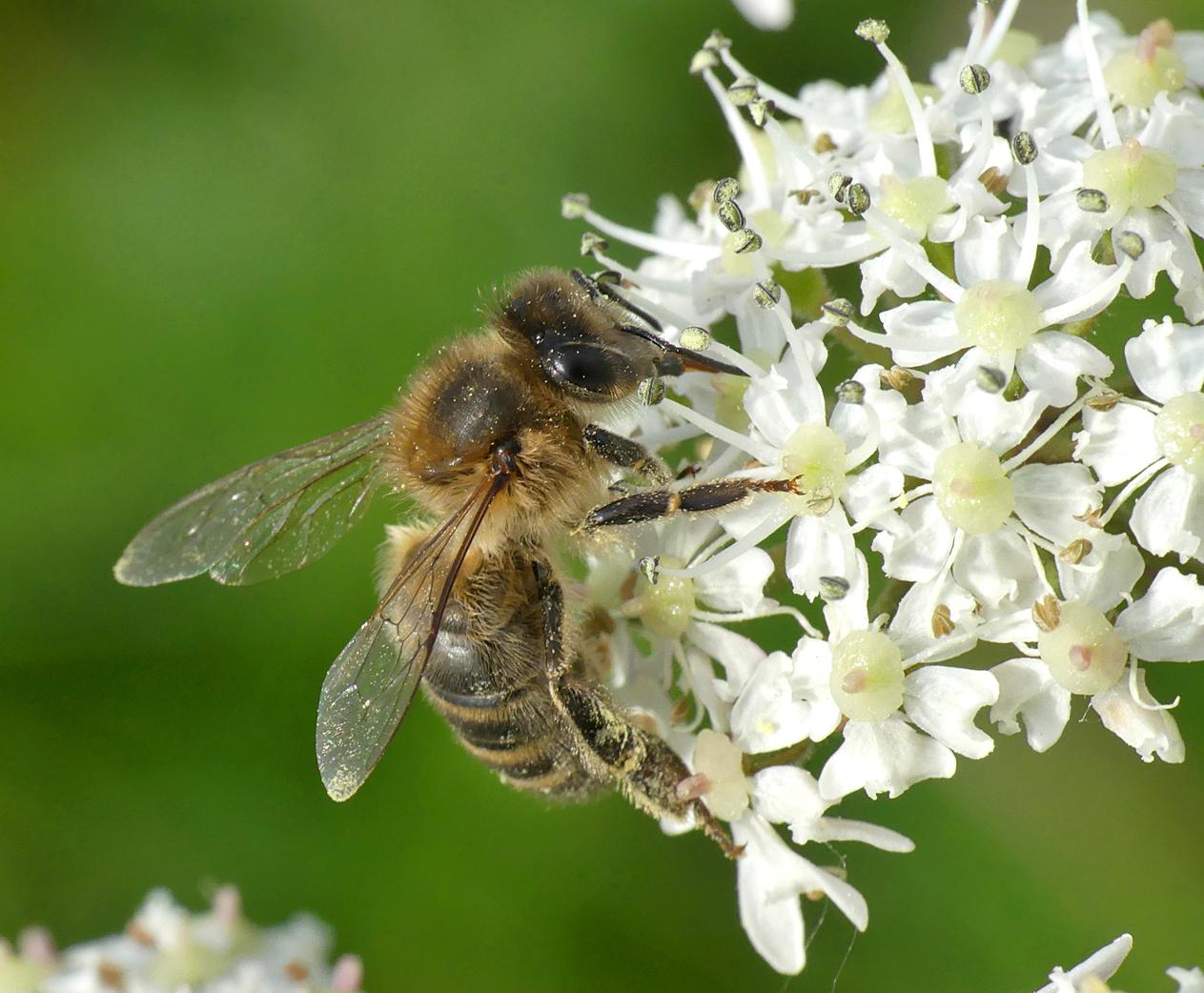 Honey Bee - Portinfer, 28 May 18