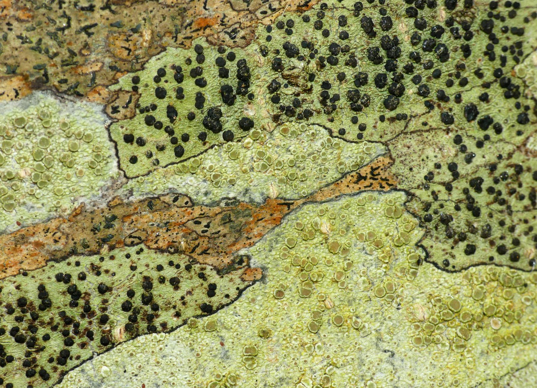 Mosaic of lichens - Garenne, 9 Jun 18