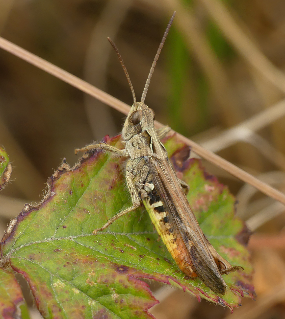 Field Grasshopper - L'Ancresse, 17 Jul 18