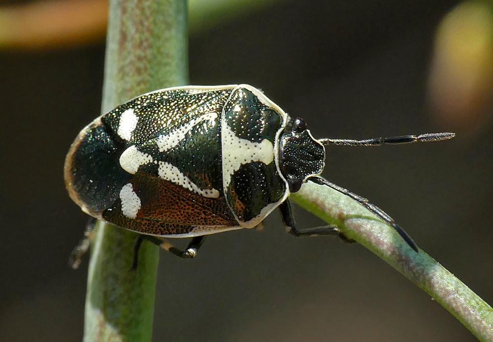 Brassica Shieldbug - Ronez Nature Trail, 21 Jul 18