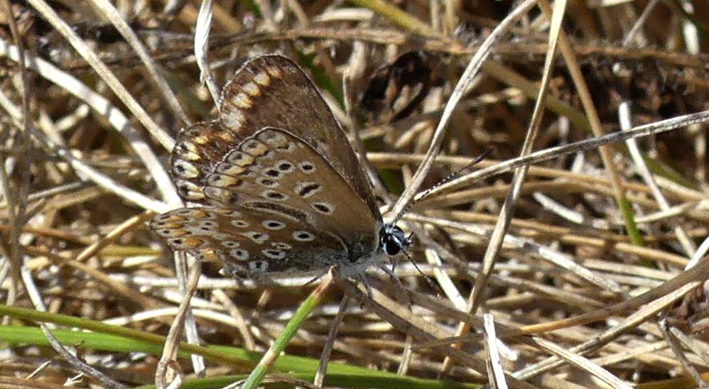 Common Blue (slightly aberrant) - Jaonneuse, 1 Aug 18