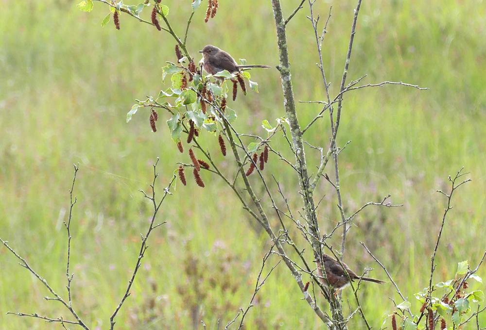 Dartford Warblers - Thursley, 9 Aug 18