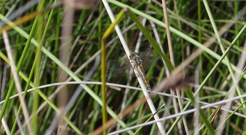 female Black Darter - Thursley, 9 Aug 18