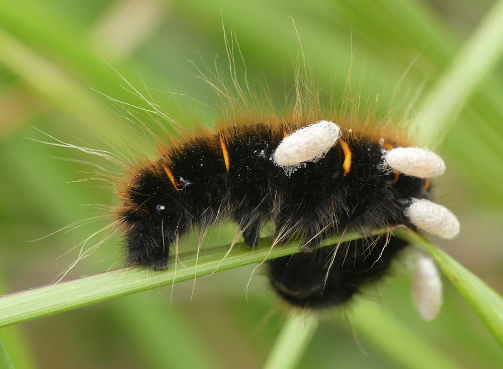 parasitized Fox Moth larva - Thursley, 9 Aug 18