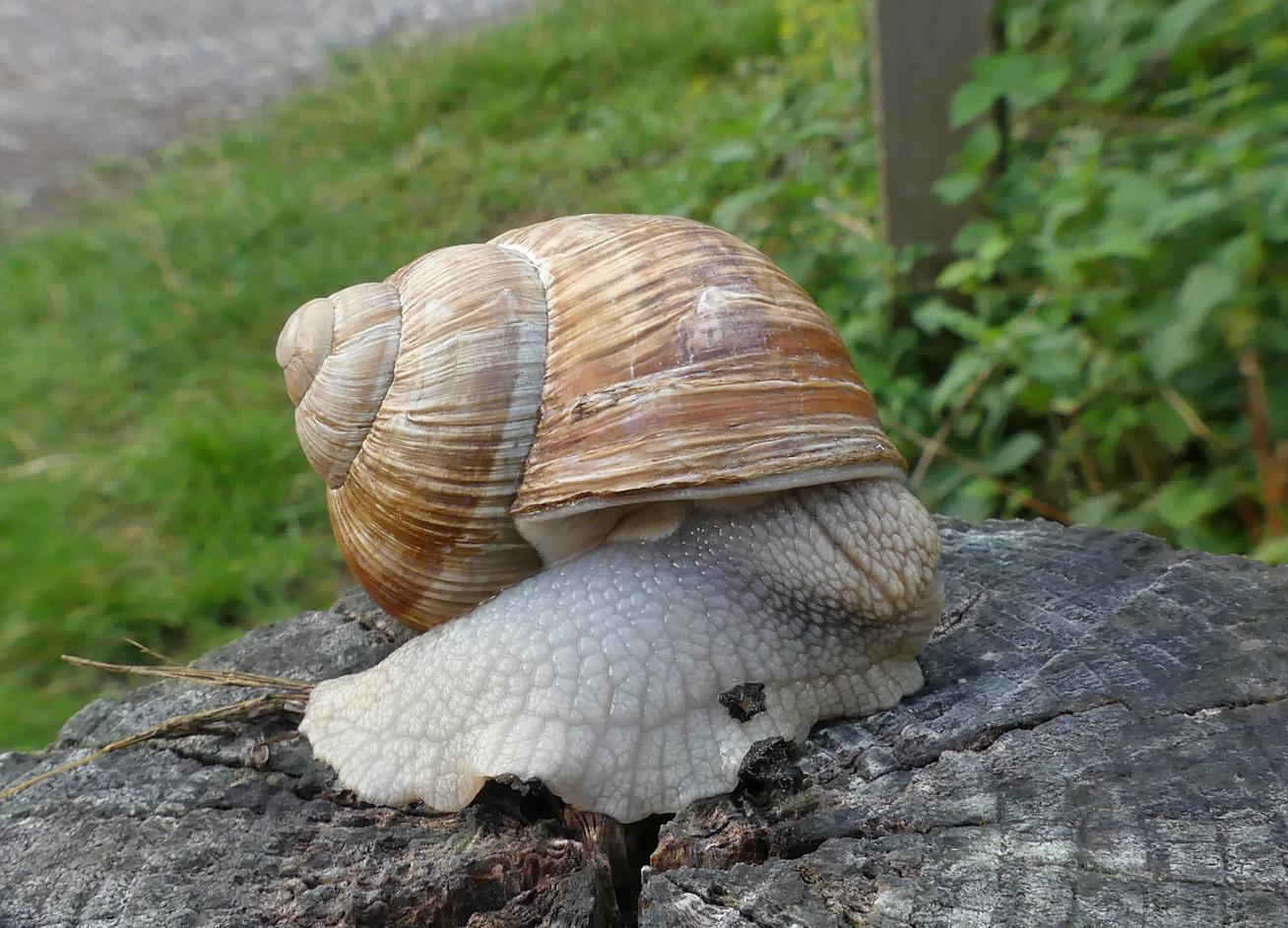 Roman Snail - Box Hill, 9 Aug 18