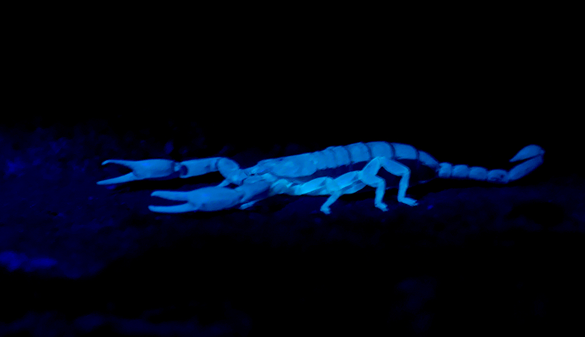 Yellow-tailed Scorpion - Sheerness, Kent, 9 Aug 18