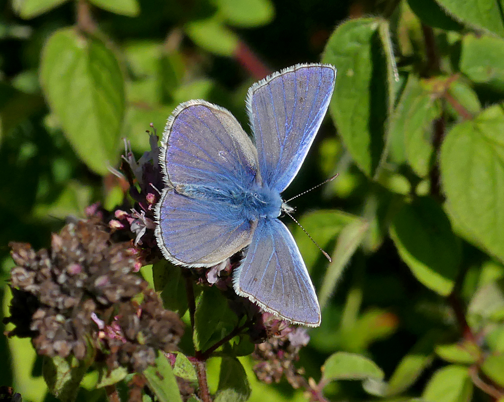 Common Blue - Queendown, Kent, 10 Aug 18