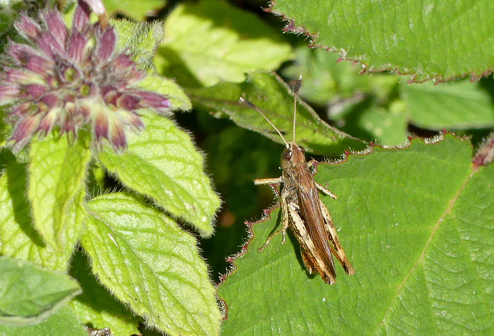 Rufous Grasshopper - we initially assumed these were Mottled Grasshoppers like at Thursley as they had the clubbed antennae, but Andy has reidentified them as the chalk specialist Rufous Grasshopper - Queendown, Kent, 10 Aug 18