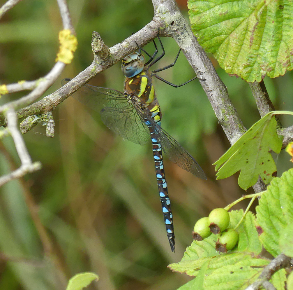 Migrant Hawker - Canvey Island, 10 Aug 18