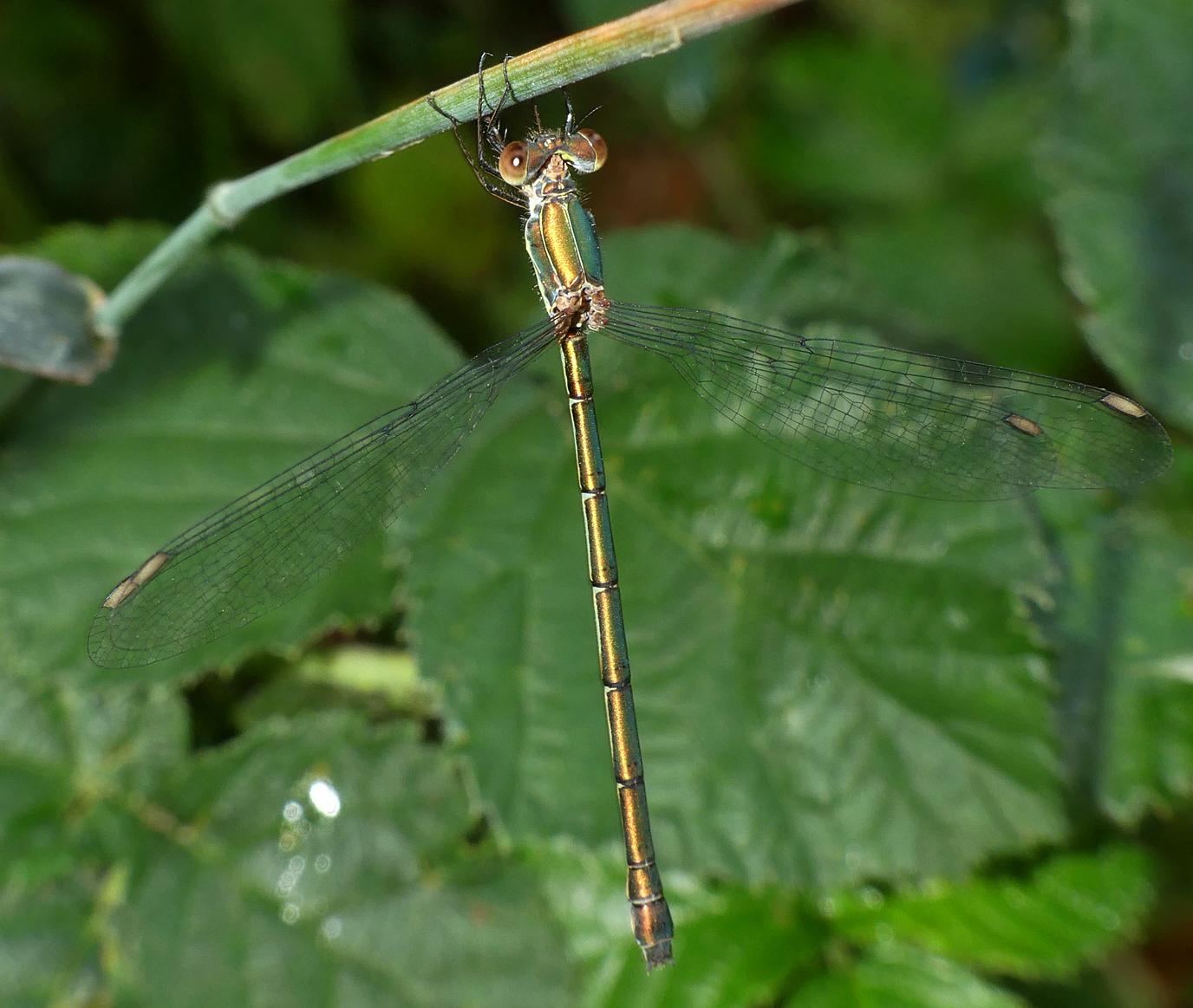 Willow Emerald Damselfly - Shotesham, 10 Aug 18