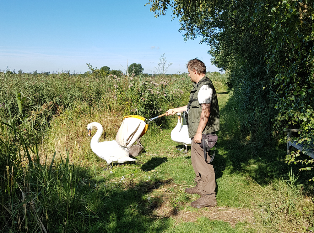 Some people may assume that this photo shows a senior BTO official attacking a family of swans with a sweep net - I disagree with this point of view.