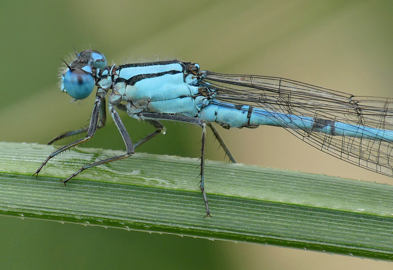 Common Blue Damselfly, Little Fransham, Aug 18