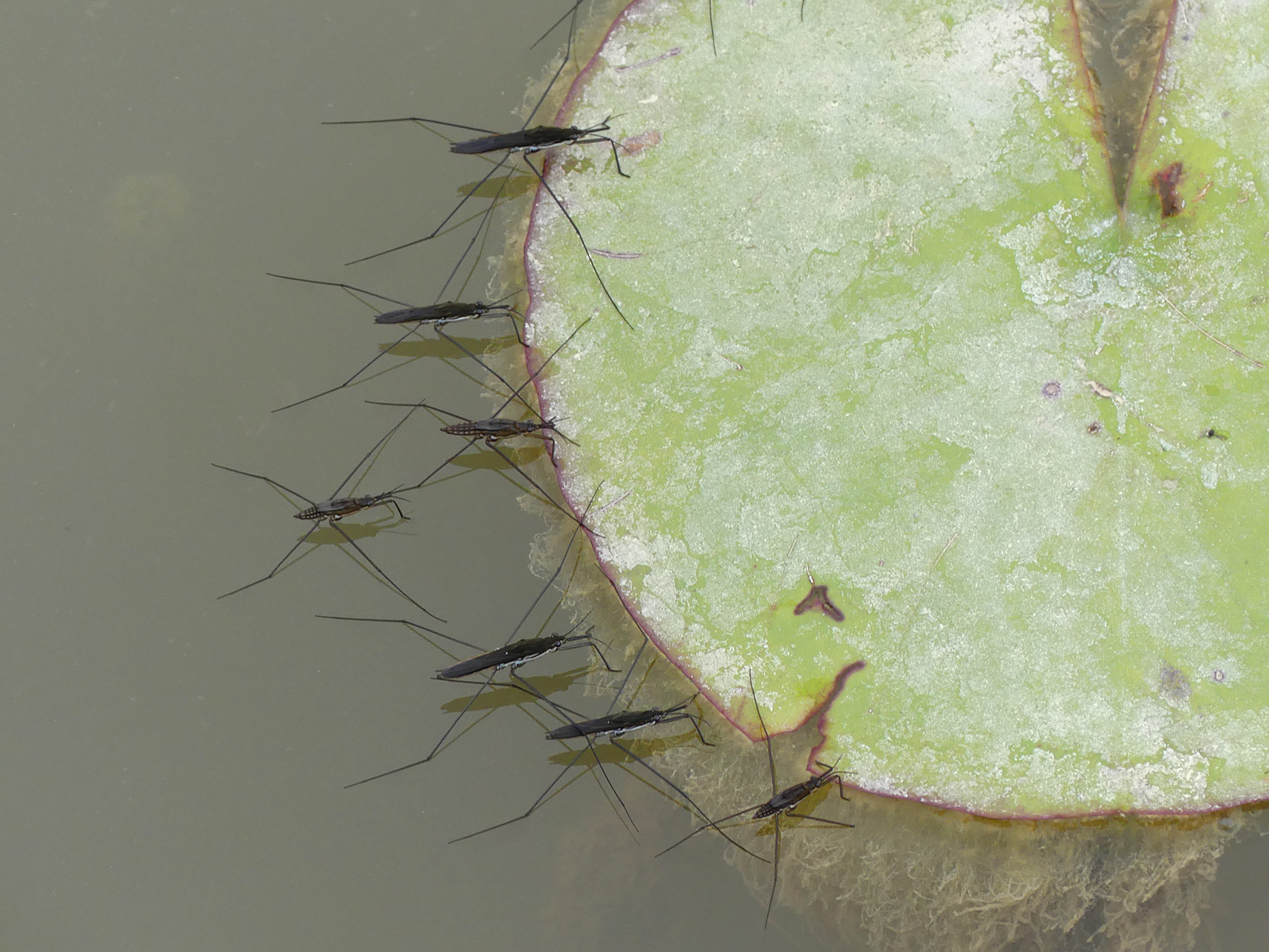 Water striders (Aquarius paludum,) , Little Fransham, Aug 18