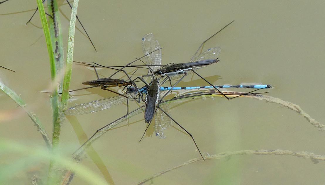 """Damsel in distress"" - Water striders (Aquarius paludum) feasting on a Common Blue Damselfly."