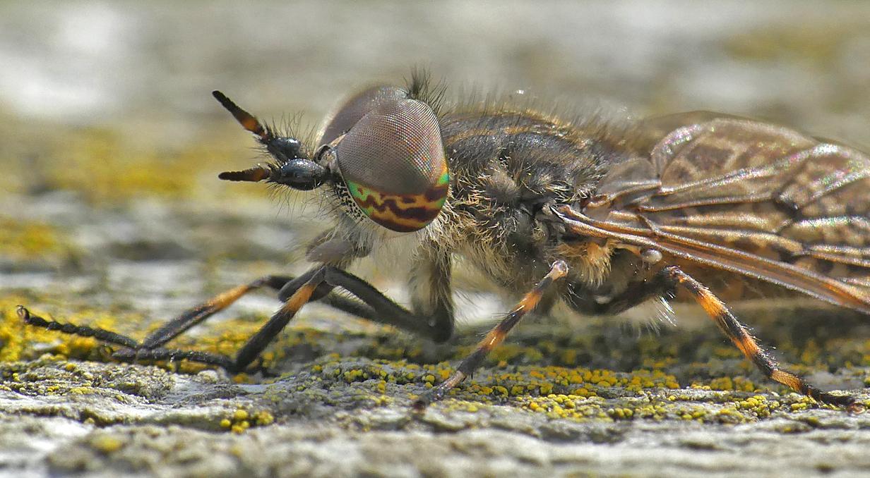 Notch-horned Cleg Fly, Little Fransham, Aug 18