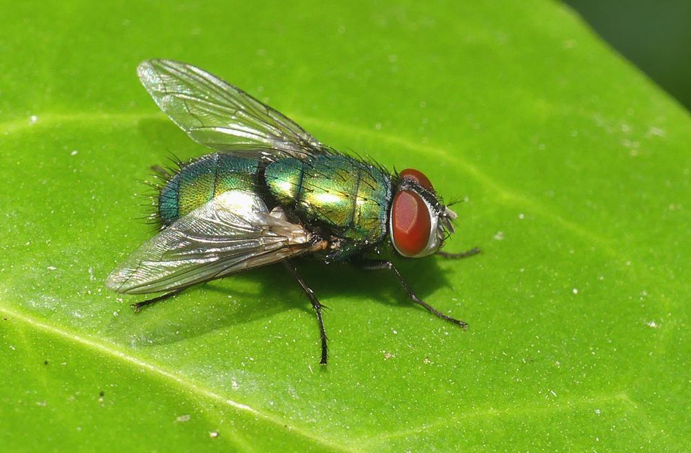 Fly sp., Little Fransham, Aug 18