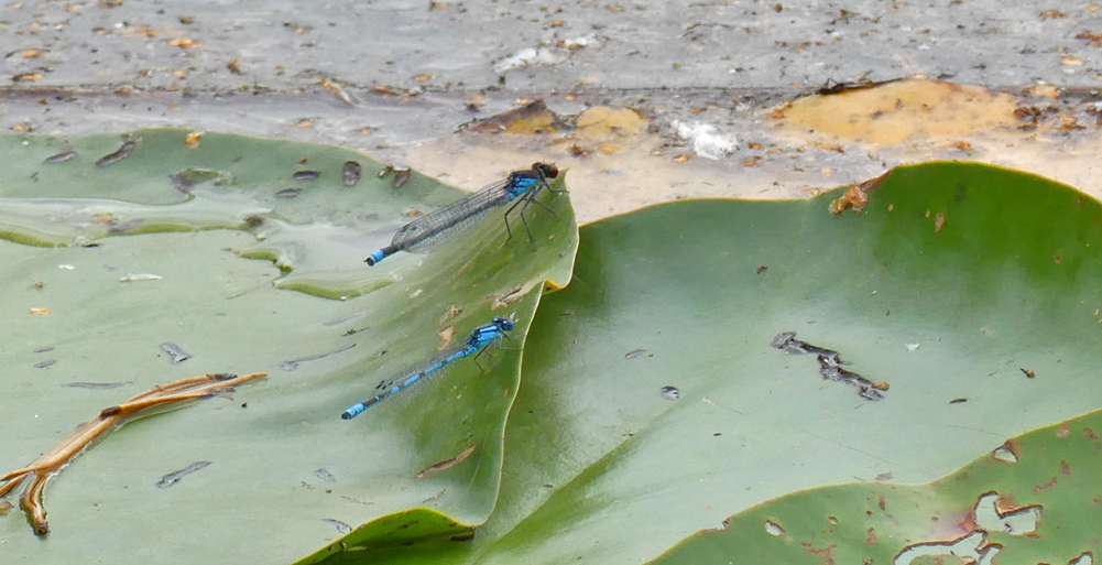 Red-eyed and Common Blue Damselflies - Thursley, 18 Aug 18