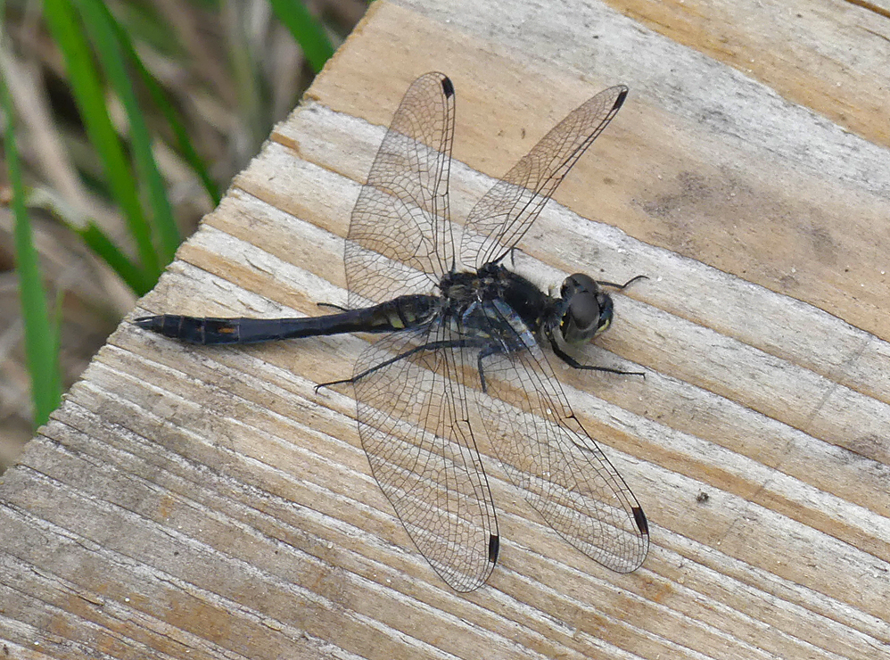 Black Darter - Thursley, 18 Aug 18