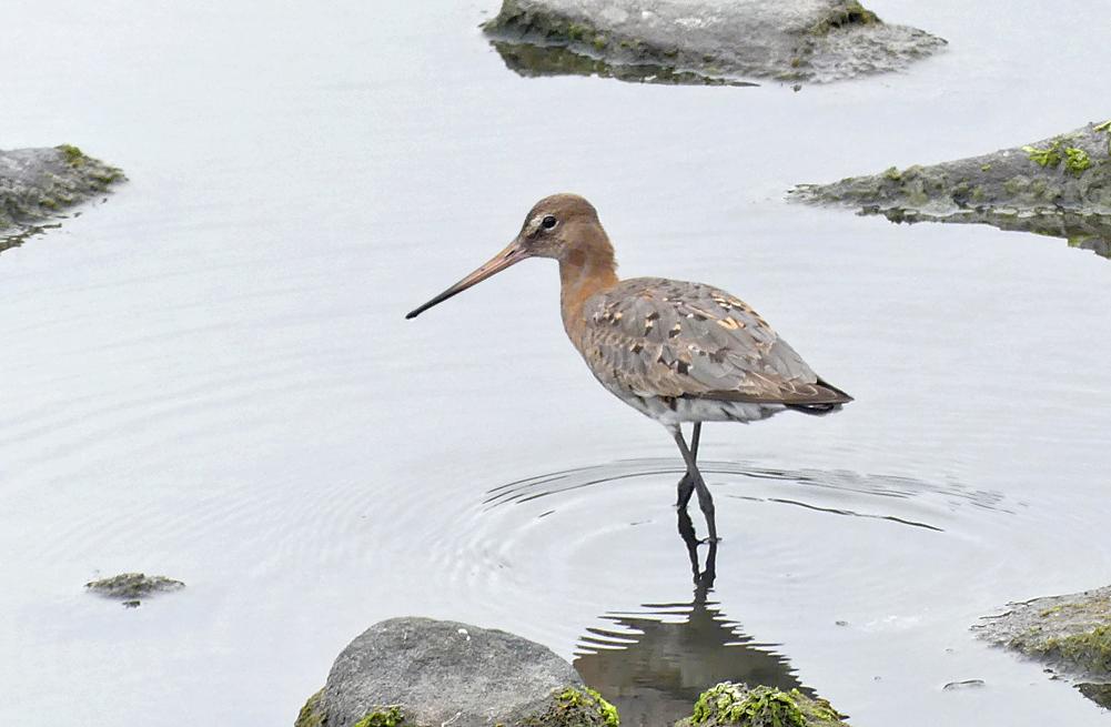 Black-tailed Godwit - Pulias, 23 Aug 18