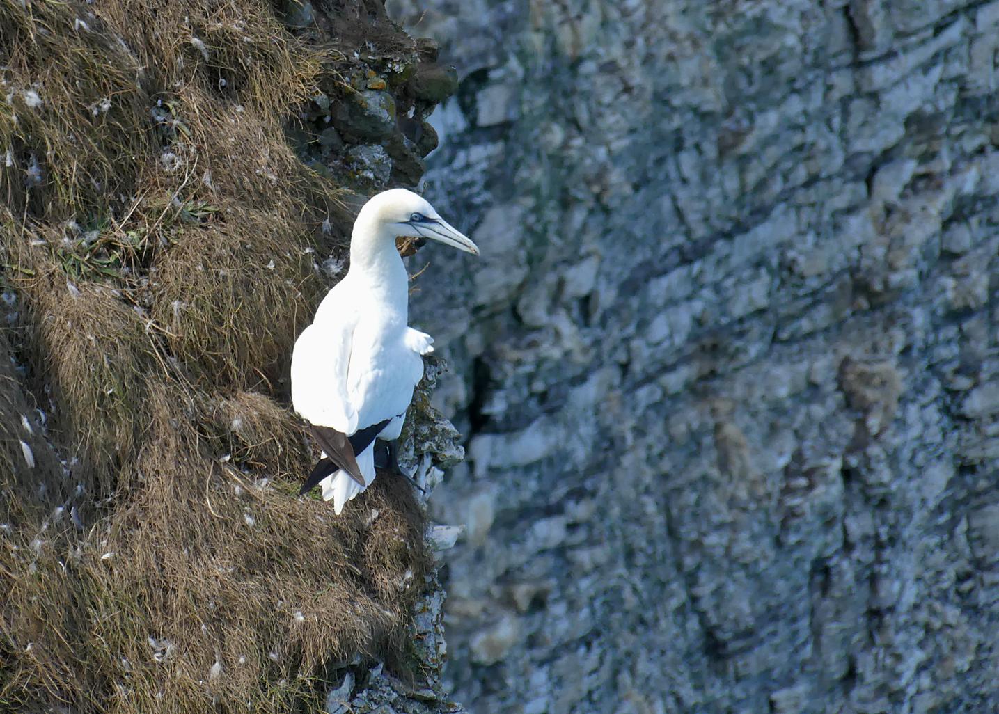 Gannet - Bempton Cliffs, 30 Aug 18