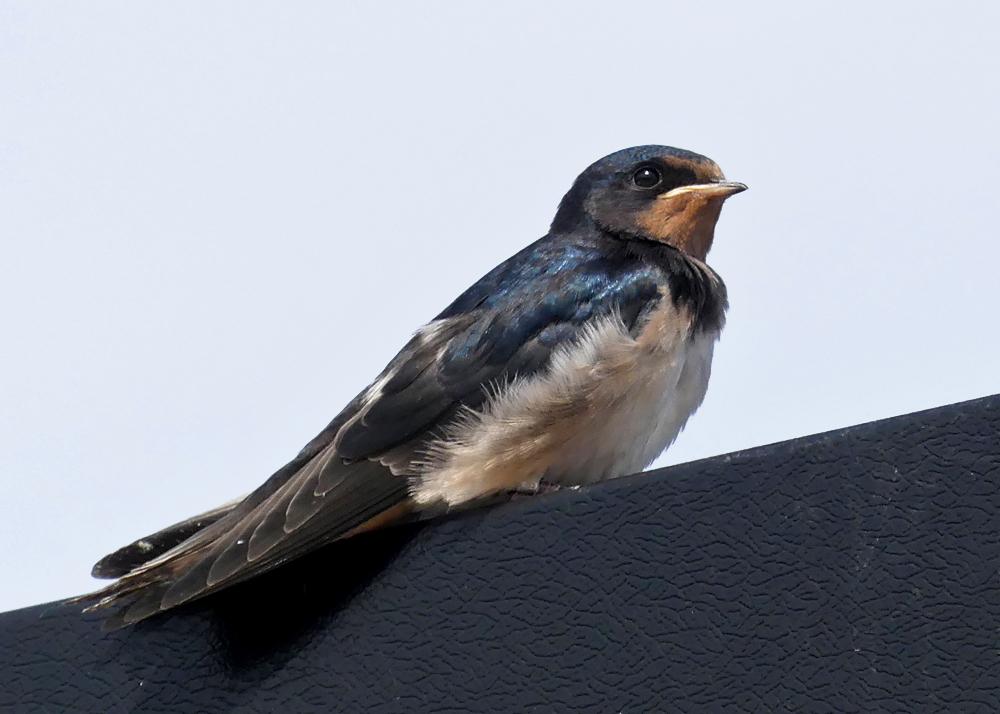 Swallow - Bempton, 30 Aug 18