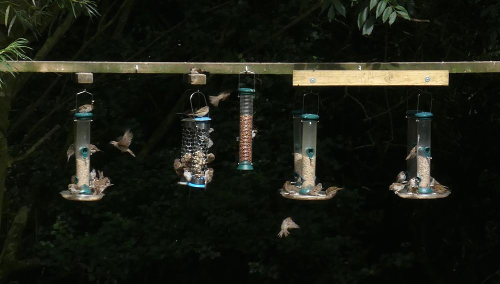 Tree Sparrows - Bempton, 30 Aug 18