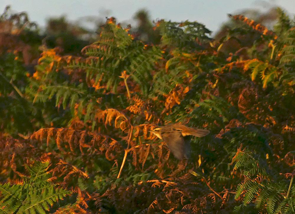 Sedge Warbler - Pleinmont, 15 Sep 18