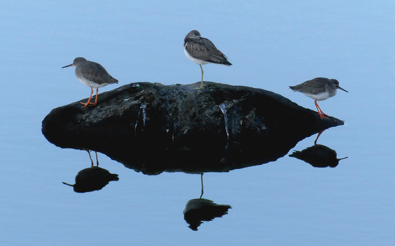 Greenshank with Redshanks - Pulias Pond, 25 Sep 18