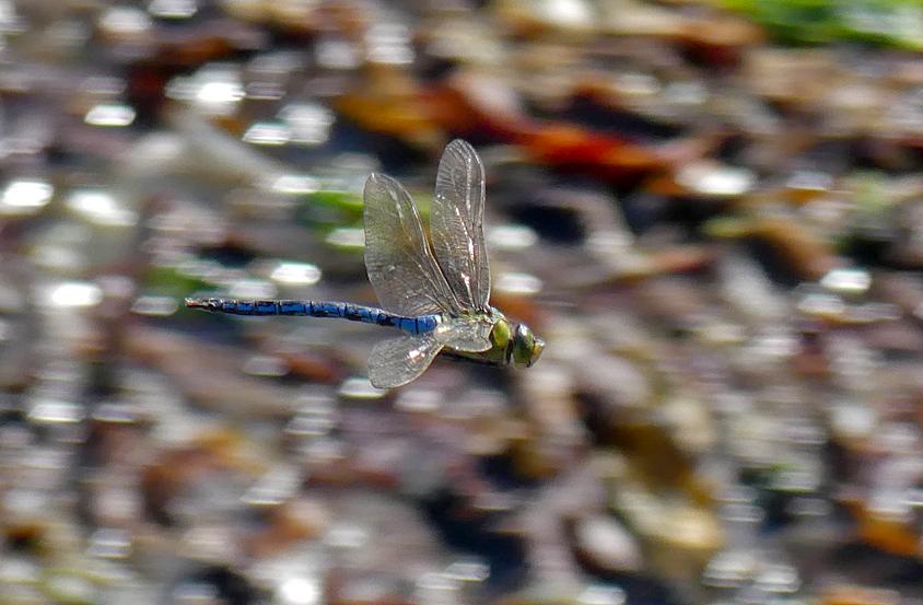 Emperor Dragonfly - Pulias, 27 Sep 18