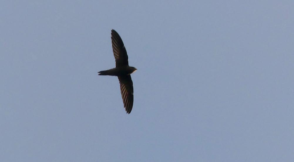 Pallid Swift - Pleinmont, 15 Oct 18