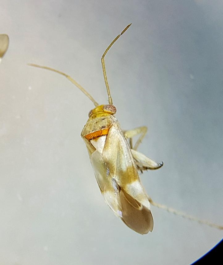 Tupunia mixticolor - a Tamarisk specialist bug - my final new species recorded in 2018
