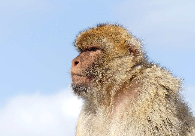 Barbary Macaque Gibraltar C.jpg