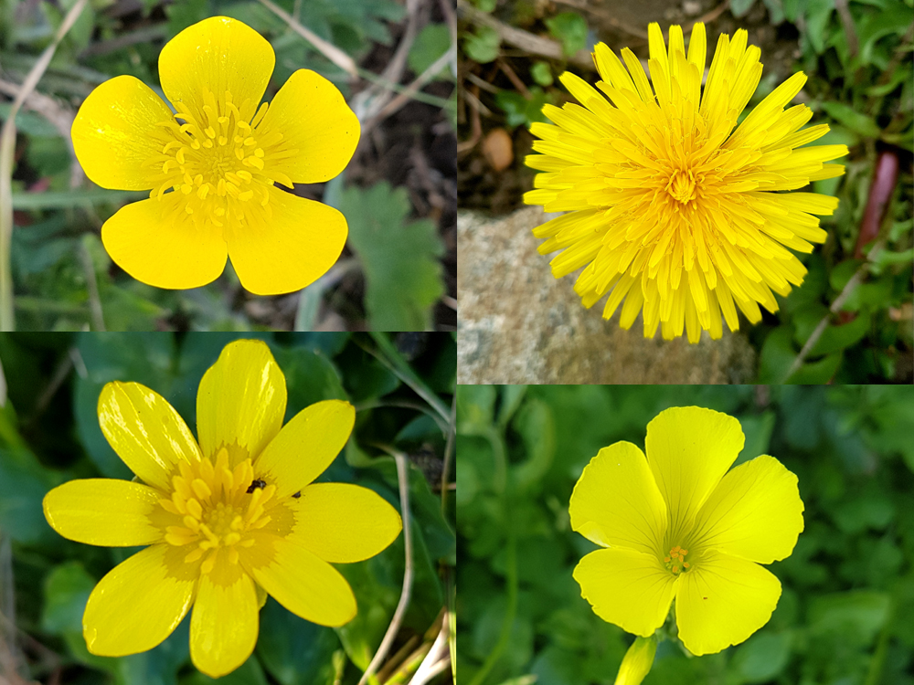 Early spring flowers - (clockwise from top left) Bulbous Buttercup, Dandelion, Bermuda Buttercup, Lesser Celandine